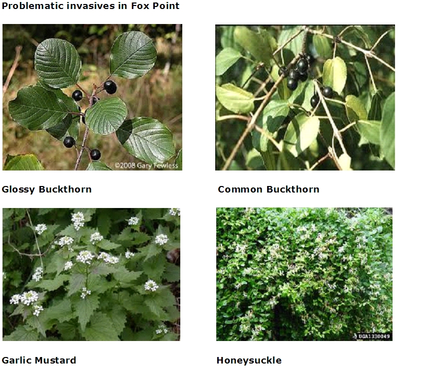 Invasive Plants - Glossy Buckthorn, Common Buckthorn, Garlic Mustard, Honeysuckle